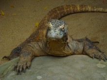 Kyle's favorite creature at the zoo, the komodo dragon, was about the same size he is.