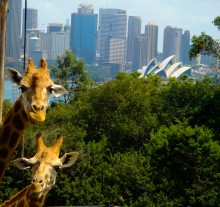 Two of the many creatures at the Taronga Zoo with a great view of the Sydney skyline.