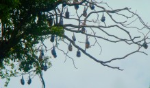"They're not coconuts, they're ""flying foxes""!"