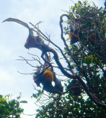 Some of the fruit bats spreading their wings above the Royal Botanic Gardens.