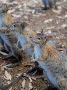 If you crossed a kangaroo with a rat, you'd probably get one of these: a pademelon.