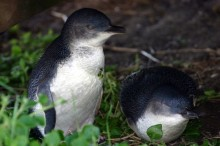A couple of penguins on parade at Phillip Island (photo courtesy of wikimedia).